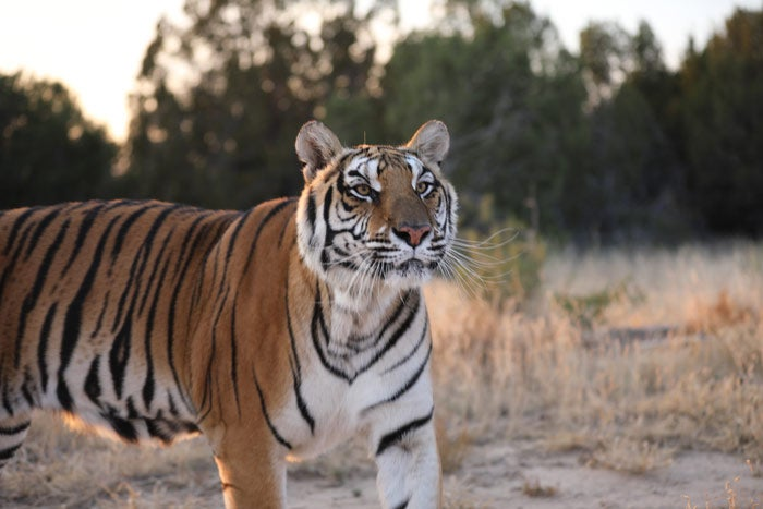 Nala, a rescued tiger at the Wild Animal Sanctuary
