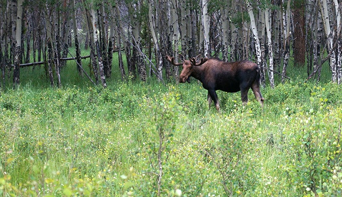 Moose in Kawuneeche Valley on the west side of Rocky Mountain National Park.